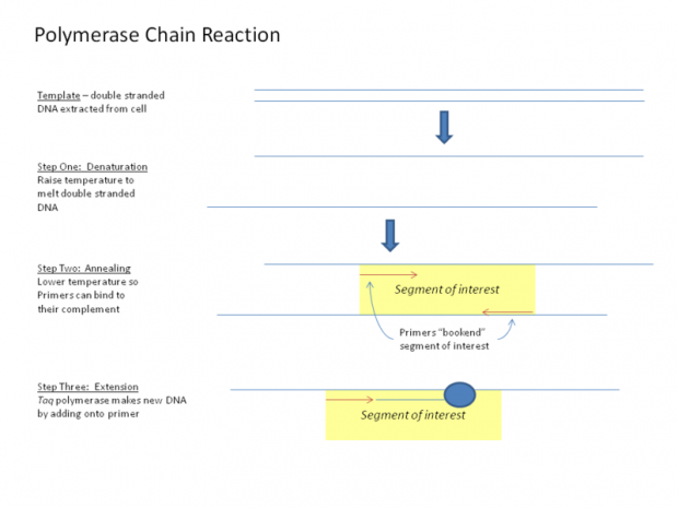 Polymerase_Chain_Reaction